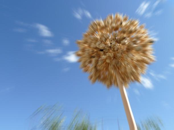 102_0206 alium seed head