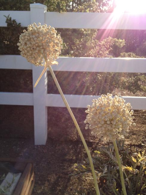 IMG_0903 onion seed