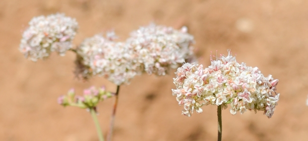 California Buckwheat 23-365