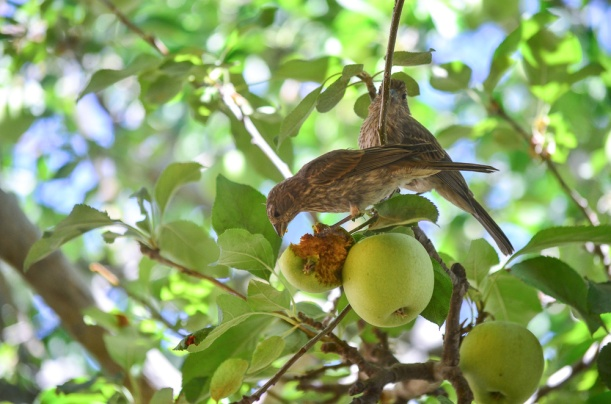 DSC_2446 apple birds