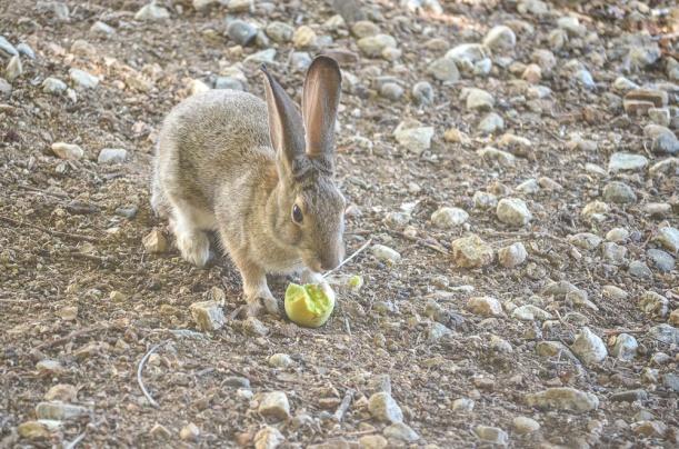 DSC_2565 bunny apple