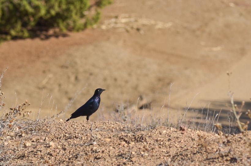 DSC_2772 blackbird
