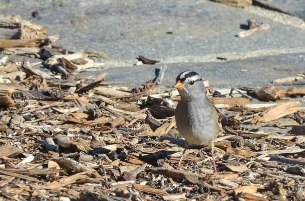 DSC_2887 WC sparrow