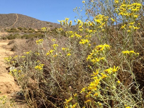 IMG_1104 yellow daisies