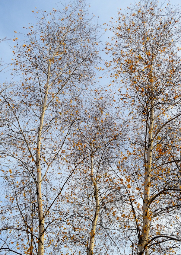 bare birches
