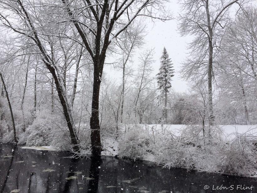 solitary fir
